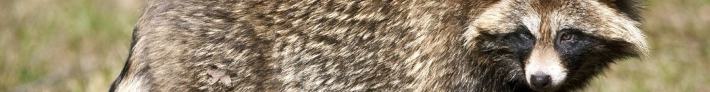 wasbeerhond
